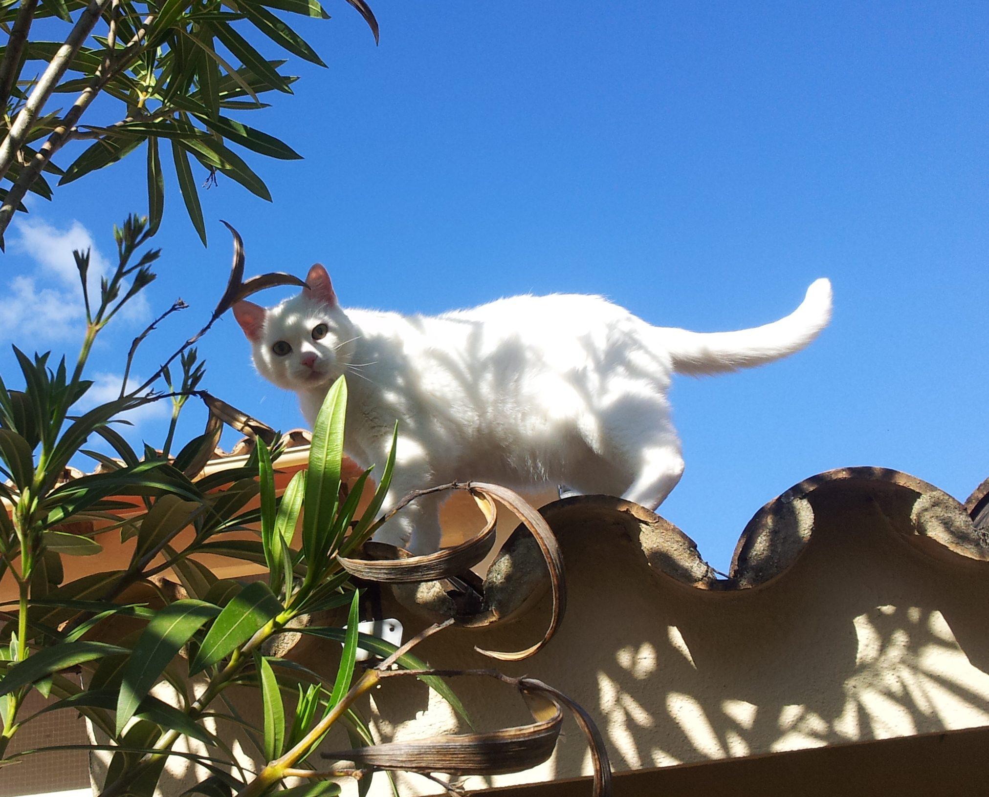 Weisser Kater auf Hausdach